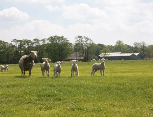 De eerste schapen met lammeren lopen weer in de wei!